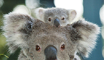 Billabong Koala and Wildlife Park - Accommodation NSW