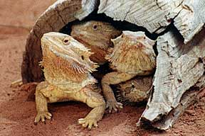 Alice Springs Reptile Centre - Accommodation NSW